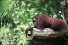 Best Things to do in Singapore - Singapore Zoo - 3