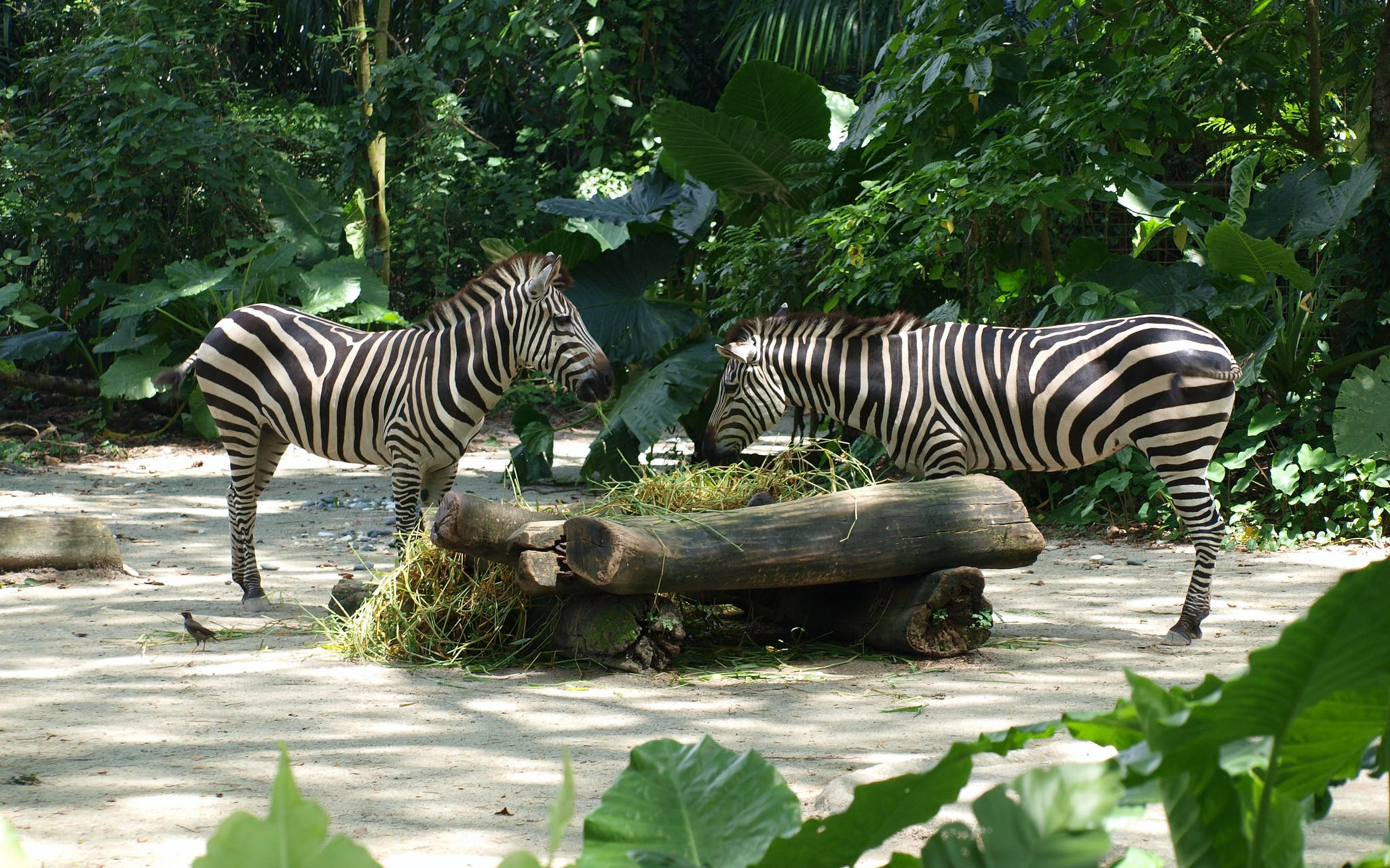 singapore zoo tickets with tram ride-3