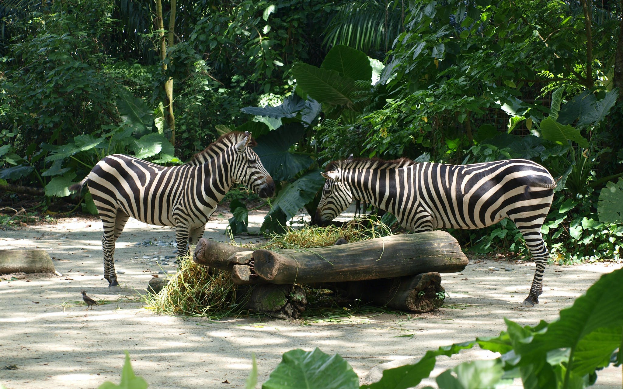 park hopper plus: singapore zoo + river safari + night safari + jurong bird park-5