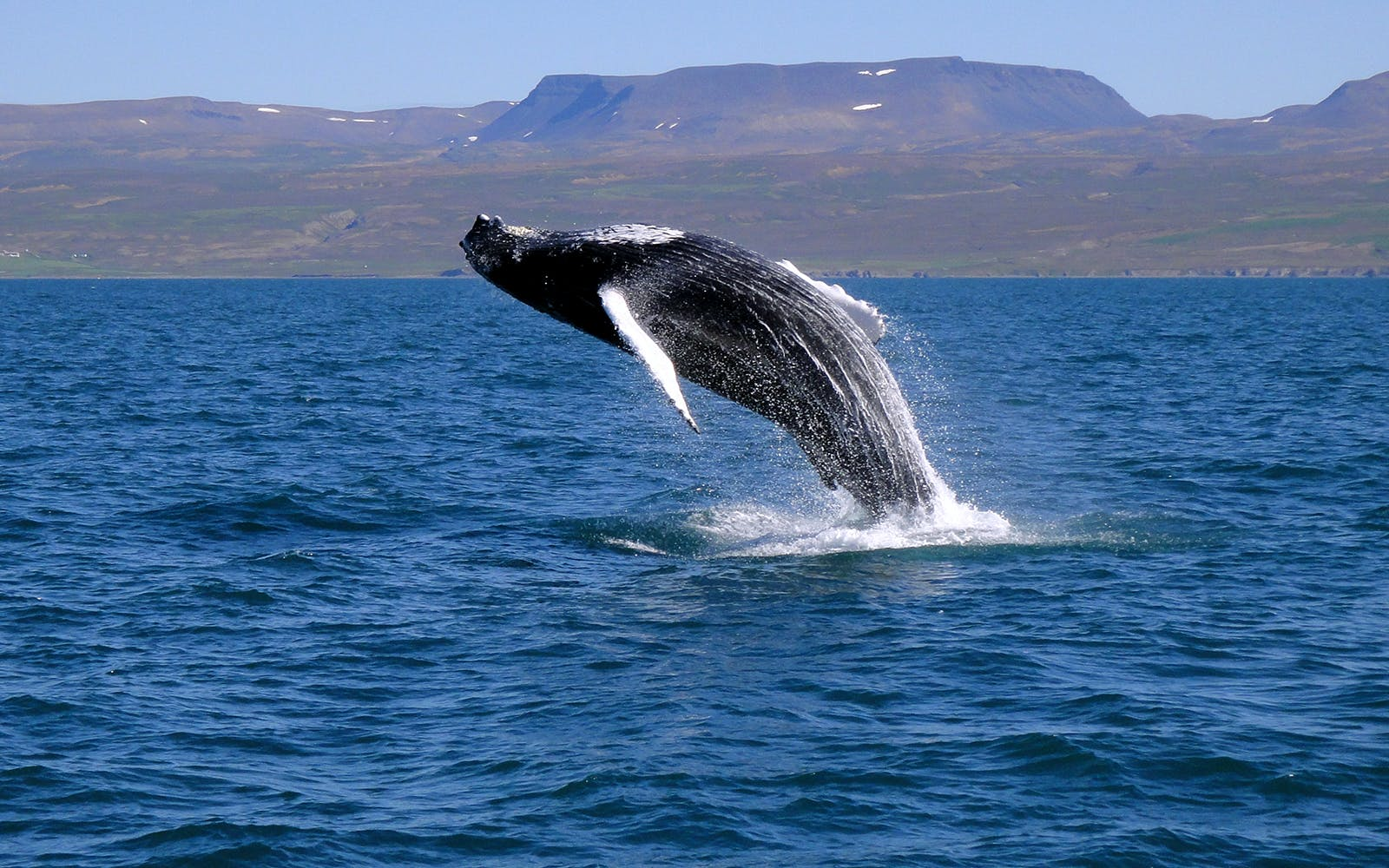 Guided Whale Watching Tour from Old Harbour