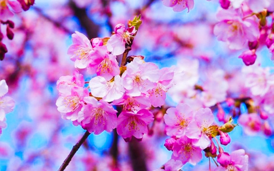Cherry Blossom Tours