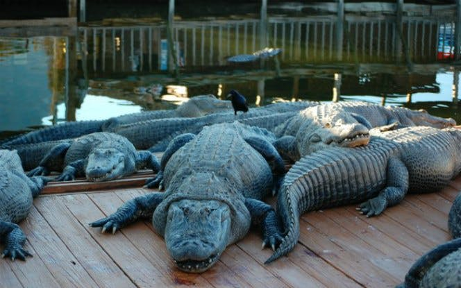 Airboat Ride and Gatorland Park Combo